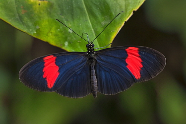 Crimson-patched Longwing (Heliconius erato) butterfly, Rio Claro Nature Reserve, Colombia