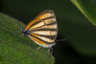 Zebra Teaser Butterfly (Arawacus separata), Santa Maria, Colombia