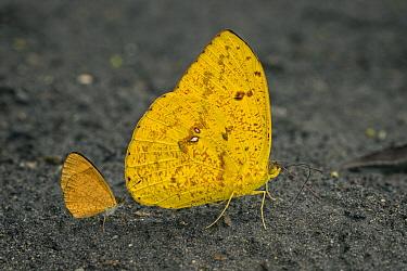 Apricot Sulphur (Phoebis argante) butterflies, Santa Maria, Colombia