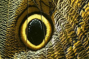 Boomerang Owl (Caligo oedipus) butterfly wing showing false eyespot, Tatama National Park, Colombia