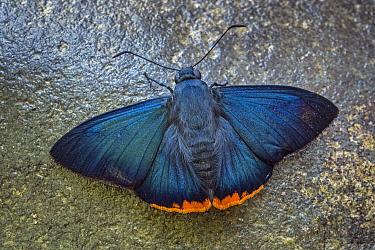 Zereda Skipper (Chalypyge zereda) butterfly, Tatama National Park, Colombia