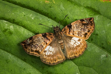 Skipper (Hesperiidae) butterfly, Santa Maria, Colombia