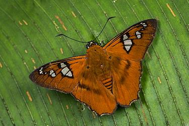 Skipper (Myscelus perissodora) butterfly, Tatama National Park, Colombia