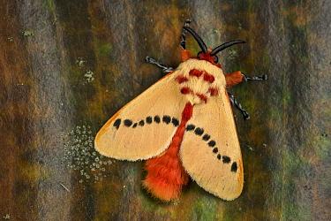 Flannel Moth (Trosia sp), Tatama National Park, Colombia