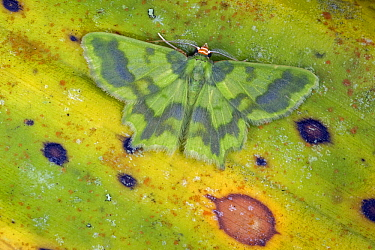 Geometer Moth (Cathydata batina), Tatama National Park, Colombia