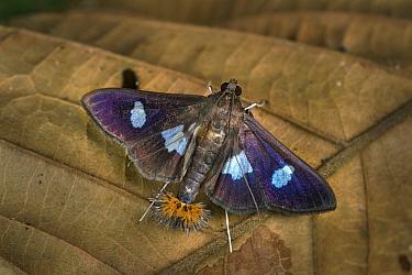 Moth (Desmia sp), Tatama National Park, Colombia