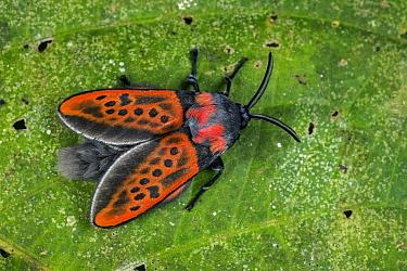 Flannel Moth (Edebessa nigropuncta), Tatama National Park, Colombia