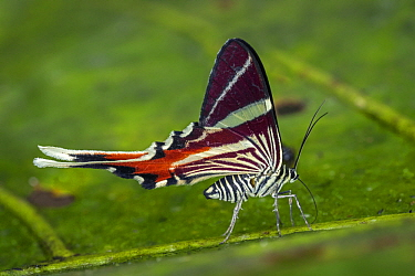 Staudinger's Longtail (Erateina staudingeri) moth, Tatama National Park, Colombia
