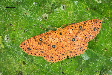 Geometer Moth (Cyclophora prunelliaria), Tatama National Park, Colombia
