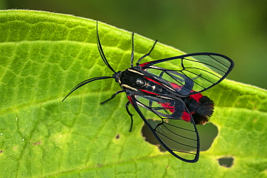 Scarlet-tipped Wasp Mimic Moth (Dinia eagrus), Tatama National Park, Colombia