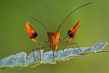 Flag-footed Bug (Anisocelis flavolineata), Tatama National Park, Colombia