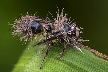 Fungus (Ophiocordycipitaceae) which parasitized and killed wasp, Tatama National Park, Colombia