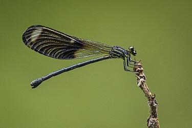 Spreadwing (Lestidae) damselfly, Selva de Ventanas Natural Reserve, Colombia