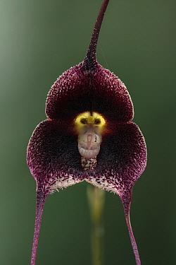 Dracula Orchid (Dracula benedictii) flower, Las Orquideas Natural National Park, Colombia