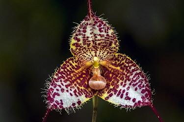 Dracula Orchid (Dracula gorgona) flower, Las Orquideas Natural National Park, Colombia