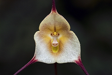 Dracula Orchid (Dracula amaliae) flower, Las Orquideas Natural National Park, Colombia