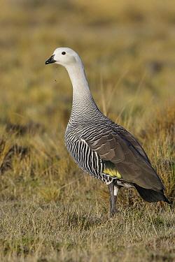 Upland Goose (Chloephaga picta) male, Andes, Chile