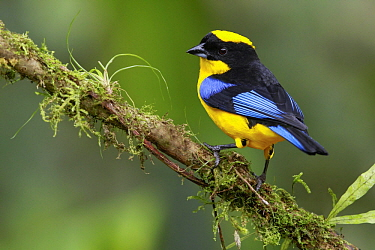Blue-winged Mountain-Tanager (Anisognathus somptuosus), Andes, Colombia