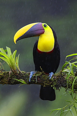 Black-mandibled Toucan (Ramphastos ambiguus) during rainfall, Costa Rica
