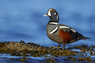 Harlequin Duck (Histrionicus histrionicus) male, British Columbia, Canada