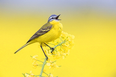Blue-headed Wagtail (Motacilla flava) calling, Poland