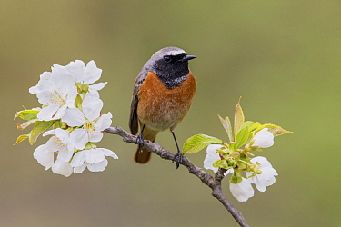Common Redstart (Phoenicurus phoenicurus) male, Poland