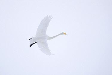 Whooper Swan (Cygnus cygnus) flying, Hokkaido, Japan