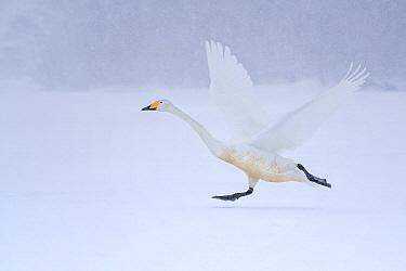Whooper Swan (Cygnus cygnus) taking flight on snow, Hokkaido, Japan