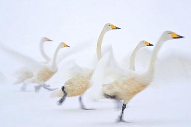 Whooper Swan (Cygnus cygnus) group taking flight on snow, Hokkaido, Japan