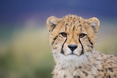 Cheetah (Acinonyx jubatus) cub, Castile-La Mancha, Spain