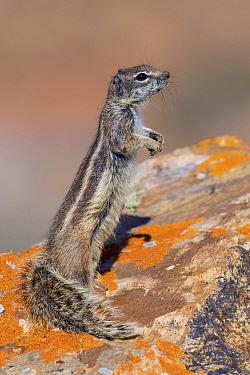 Barbary Ground Squirrel (Atlantoxerus getulus) on alert, Fuerteventura, Spain