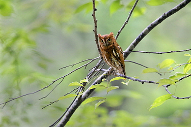 Oriental Scops-Owl (Otus sunia), Tottori, Japan