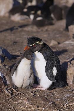 Rockhopper Penguin (Eudyptes chrysocome) parent with chick, Pebble Island, Falkland Islands
