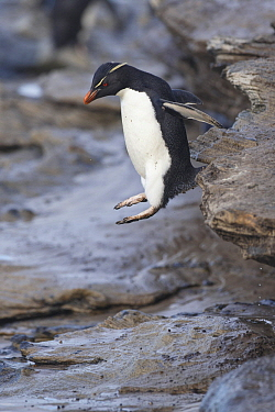 Rockhopper Penguin (Eudyptes chrysocome) jumping, Saunders Island, Falkland Islands