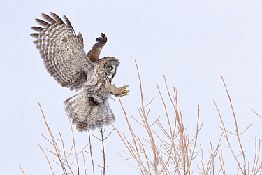 Great Gray Owl (Strix nebulosa) landing, Quebec, Canada