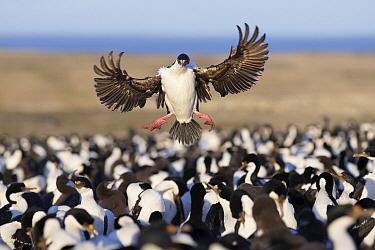 Blue-eyed Cormorant (Phalacrocorax atriceps) landing in colony, Bleaker Island, Falkland Islands