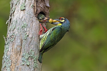 Coppersmith Barbet (Megalaima haemacephala) parent feeding chick in nest cavity, Penang, Malaysia