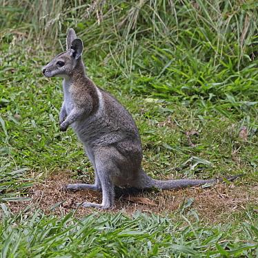 Bridled Nail-tailed Wallaby (Onychogalea fraenata), Queensland, Australia