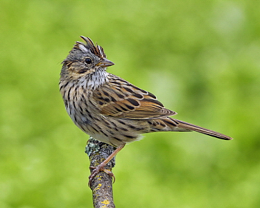 Lincoln's Sparrow (Melospiza lincolnii), California