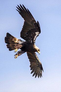 Spanish Imperial Eagle (Aquila adalberti) flying, Andalucia, Spain