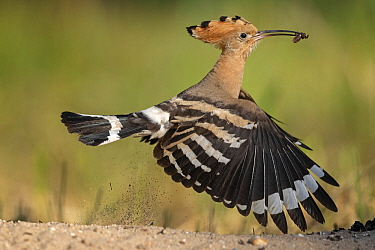 Eurasian Hoopoe (Upupa epops) flying with prey, Saxony-Anhalt, Germany