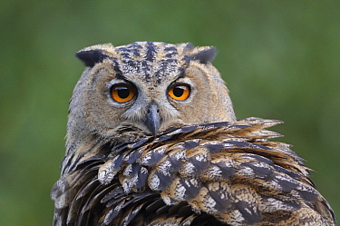 Eurasian Eagle-Owl (Bubo bubo), North Rhine-Westphalia, Germany