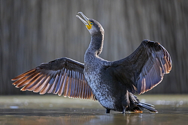 Great Cormorant (Phalacrocorax carbo) drying wings, Hungary