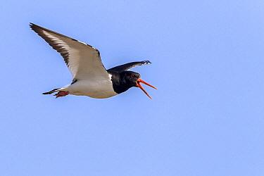 Eurasian Oystercatcher (Haematopus ostralegus) calling while flying, Texel, Netherlands