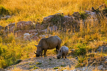 White Rhinoceros (Ceratotherium simum) mother and calf grazing, Kruger National Park, South Africa