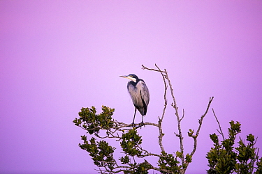 Black-headed Heron (Ardea melanocephala), Herolds Bay, South Africa