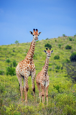 Northern Giraffe (Giraffa camelopardalis) mother and calf, Itala Game Reserve, KwaZulu-Natal, South Africa