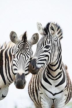 Burchell's Zebra (Equus burchellii) pair nuzzling, Itala Game Reserve, KwaZulu-Natal, South Africa