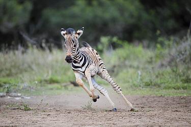 Burchell's Zebra (Equus burchellii) foal running, Mkhuze Game Reserve, KwaZulu-Natal, South Africa