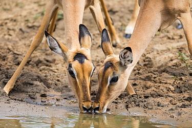 Impala (Aepyceros melampus) pair drinking at waterhole, Mkhuze Game Reserve, KwaZulu-Natal, South Africa